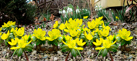 Everyday Aconites copy